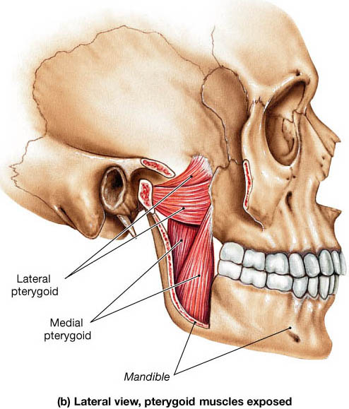pterygoid muscle Sheddon Physioyherapy Sports Clinic Oakville Mississauga